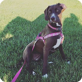 Great Dane/Pointer Mix Dog for adoption in Painted Post, New York - Nalla