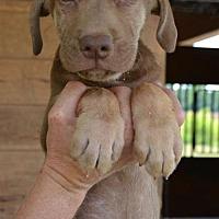 Adopt A Pet :: Paddy - Washington, DC