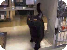 Domestic Shorthair Cat for adoption in Walker, Michigan - Abby