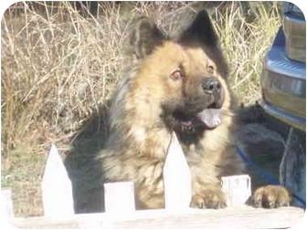 Chow Chow/Husky Mix Dog for adoption in Auburn, California - Monty
