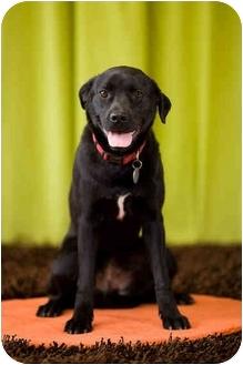 Labrador Retriever/Boston Terrier Mix Dog for adoption in Portland, Oregon - Amy