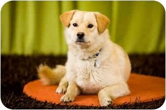 Labrador Retriever/Golden Retriever Mix Dog for adoption in Portland, Oregon - Lincoln