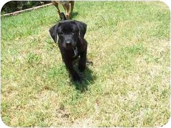 Labrador Retriever Mix Puppy for adoption in Kaufman, Texas - Ranger