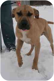 American Pit Bull Terrier Mix Puppy for adoption in Walker, Michigan - Angus B9