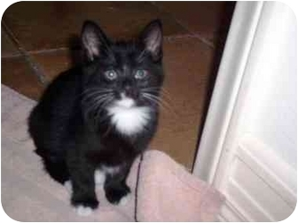 Domestic Shorthair Kitten for adoption in Irvine, California - Boma