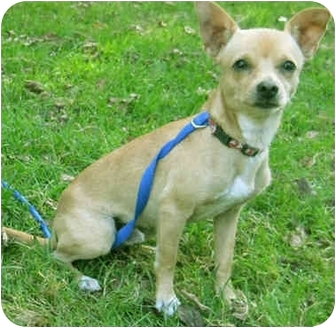 Chihuahua Puppy for adoption in Mt. Prospect, Illinois - Dijon