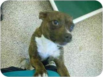 Terrier (Unknown Type, Medium) Mix Dog for adoption in North Charleston, South Carolina - Dozzie