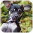 Photo 2 - Chihuahua/Miniature Pinscher Mix Puppy for adoption in El Segundo, California - Tinkerbelle
