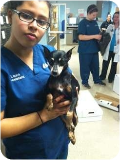 Miniature Pinscher Dog for adoption in Malaga, New Jersey - Keto