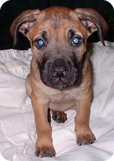Boxer/Labrador Retriever Mix Puppy for adoption in Manchester, Connecticut - Raeanne