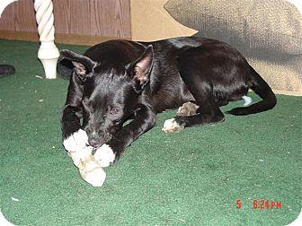 Schipperke/Border Terrier Mix Puppy for adoption in North Pole, Alaska - Dixie