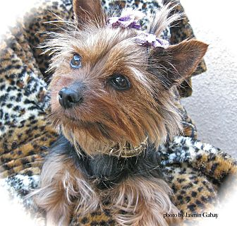 Yorkie, Yorkshire Terrier Dog for adoption in Sun Valley, California - Sophie
