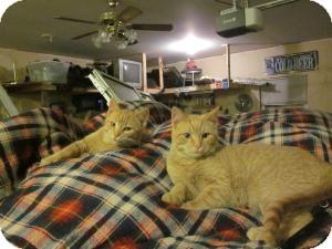 Domestic Shorthair Kitten for adoption in Fennville, Michigan - Linus