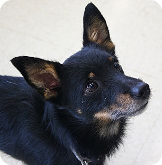 Wirehaired Fox Terrier/Terrier (Unknown Type, Small) Mix Dog for adoption in North Olmsted, Ohio - Sarge