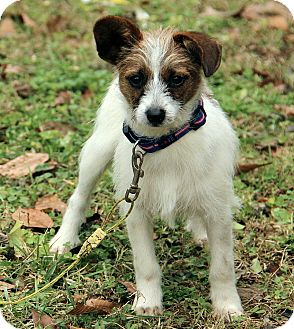 Jack Russell Terrier Mix Puppy for adoption in Windham, New Hampshire - Baxter