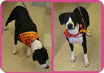 Pointer/Boxer Mix Dog for adoption in Mena, Arkansas - Marley H.
