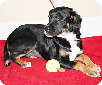 Australian Shepherd/Border Collie Mix Puppy for adoption in Chapel Hill, North Carolina - River