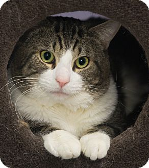 Domestic Shorthair Cat for adoption in Elmwood Park, New Jersey - Max