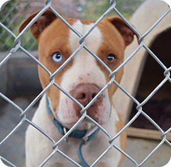 American Bulldog Mix Dog for adoption in East Windsor, Connecticut - Deuce