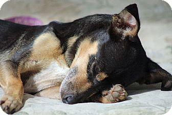 Chihuahua Mix Dog for adoption in berwick, Maine - Dante
