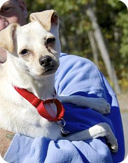 Chihuahua/Terrier (Unknown Type, Small) Mix Dog for adoption in Gloucester, Massachusetts - Poochie
