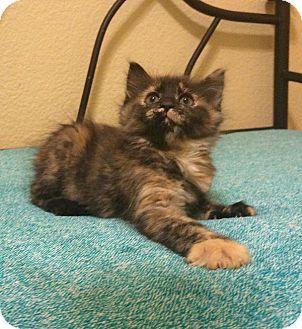 Domestic Mediumhair Kitten for adoption in Plano, Texas - STAR - FLUFFY SWEETIE!!!