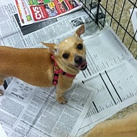Terrier (Unknown Type, Medium)/Chihuahua Mix Dog for adoption in Fresno, California - Lulu