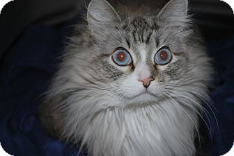 Domestic Longhair Cat for adoption in Buffalo, Wyoming - Mattie