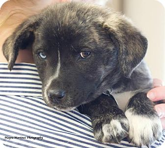 Australian Shepherd Mix Puppy for adoption in Norwich, Connecticut - Lily