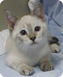 Siamese Kitten for adoption in Cedartown, Georgia - 28148846