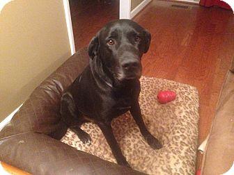 Great Dane Mix Dog for adoption in Reynoldsburg, Ohio - Gromit