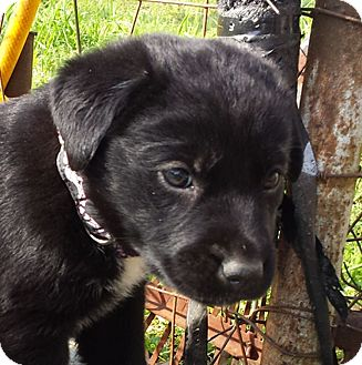 Flat-Coated Retriever Mix Puppy for adoption in Preston, Connecticut - Angel  AD 04-23-16
