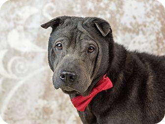 Shar Pei Dog for adoption in Holmes Beach, Florida - Joey