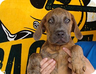 Bullmastiff/Plott Hound Mix Puppy for adoption in Oviedo, Florida - King