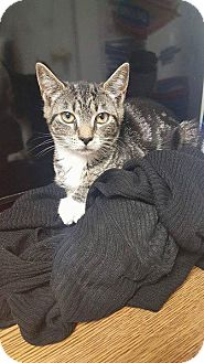 Domestic Shorthair Kitten for adoption in New Milford, Connecticut - Pebbles