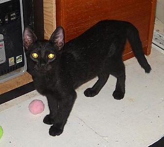 Domestic Shorthair Cat for adoption in Walnut Creek, California - Pluto