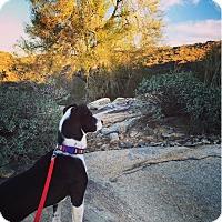 Adopt A Pet :: Lily - Tempe, AZ
