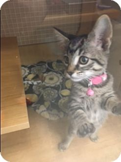 Domestic Shorthair Kitten for adoption in El Dorado Hills, California - Star