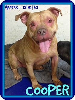 Pit Bull Terrier Mix Dog for adoption in Allentown, Pennsylvania - COOPER