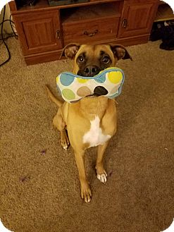 Boxer Mix Dog for adoption in Fayetteville, Arkansas - Spartacus