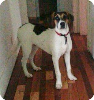 Great Dane/Hound (Unknown Type) Mix Dog for adoption in Woodbridge, Virginia - Bowser