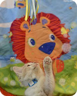 Domestic Mediumhair Kitten for adoption in Medina, Ohio - Butter Brickle