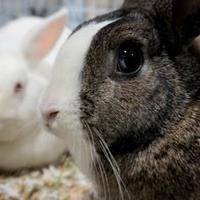 Adopt A Pet :: Melody - Seattle, WA