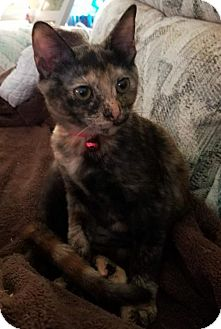 Domestic Shorthair Kitten for adoption in Panama City, Florida - Smudge