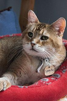 Domestic Shorthair Cat for adoption in Montreal, Quebec - Lynxy-Boy