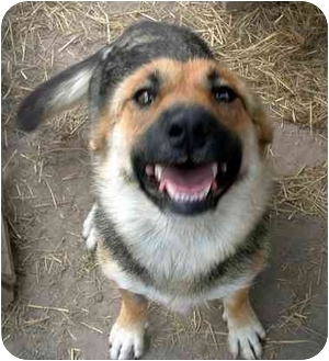Shepherd (Unknown Type) Mix Dog for adoption in STATEN ISLAND, New York - madison