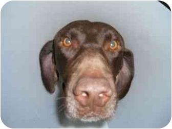 German Shorthaired Pointer/Labrador Retriever Mix Dog for adoption in San Diego, California - HERMAN