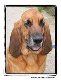Bloodhound Dog for adoption in Warren, Pennsylvania - Joy