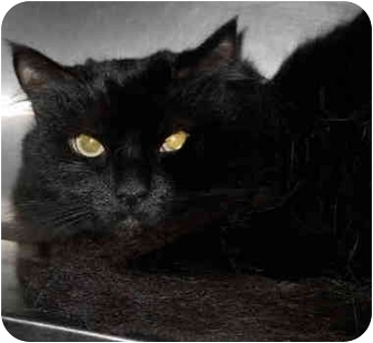 Domestic Longhair Cat for adoption in San Clemente, California - VERA-declawed