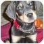 Photo 1 - Rottweiler/Weimaraner Mix Puppy for adoption in Sandston, Virginia - Brusier